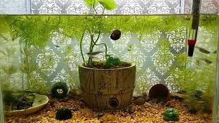 簡易メダカ水槽。エアレーションなし。ソイル 赤玉土 マツモ ウォーターコイン ウォーターマッシュルーム ウィローモス 石巻貝 ミナミヌマエビ 幹之めだか 黒めだか ピカリめだか 楊貴妃 など
