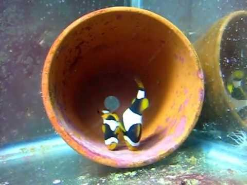 Onyx Clownfish Says: Let's Lay Some Eggs!