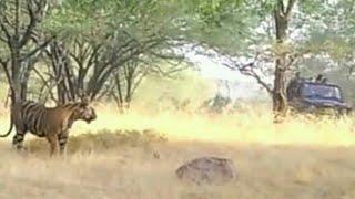 Jeep safari Live tiger attack and fails to kill, kanha 2017 | national parks | tiger | bengal tiger