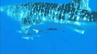 Whale Shark in corniche jeddah RedSea قرش الحوت في كورنيش جدة