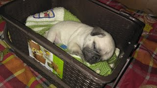 Pug puppy, pug dog, hutch dog, Vodafone dog