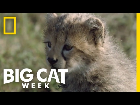 Cheetah Cubs First Adventure | Big Cat Week