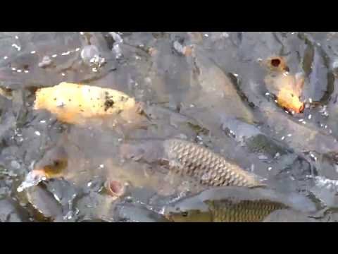 Amazing Fish in Nepal || Fish in Flood in Nepal || System Nepal