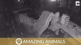 Sneaky Sloth Breaks Into Restaurant Before Falling On Floor