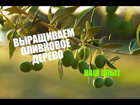 Как вырастить оливковое дерево из косточки