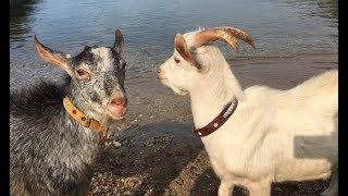 Keçilerimiz ile ilgili fantastik bir fikrim var
