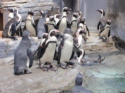 Funny penguins Barcelona Aquarium