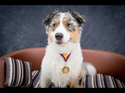 Apollo - Australian Shepherd - 4 Week Residential Dog Training (half video)