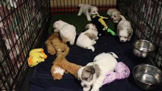 Coton Puppies For Sale - Eliza 11/11/19