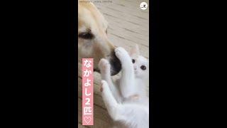優しいワンコが、子猫のペチペチ攻撃を受け止める…♪ ずっと見ていたい二匹のじゃれ合い(*´ェ`*) #Shorts