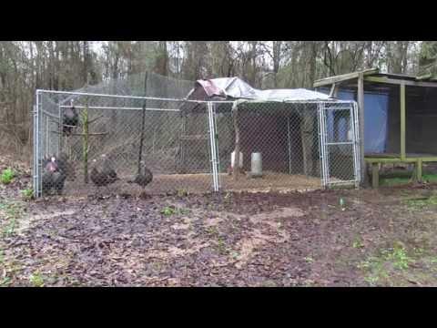 Feeding the Turkeys - EP2