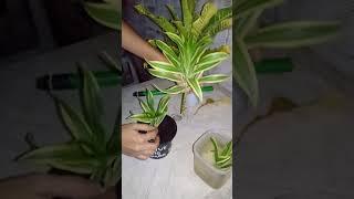 Como fazer e plantar uma muda de Dracena Reflexa