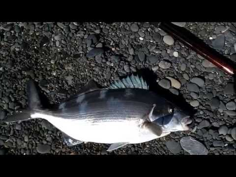 Surfcasting NZ - A Few Fish From The Shingle