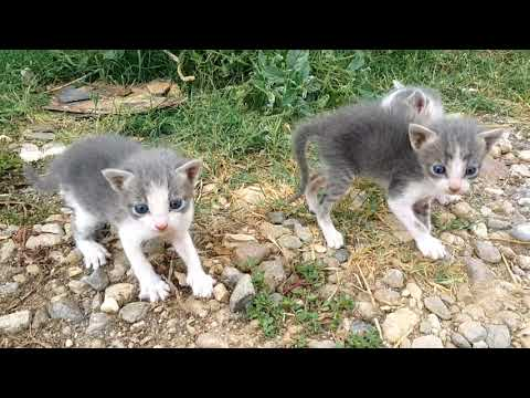 Nature - when a setter dog finds abandoned-orphaned kittens -