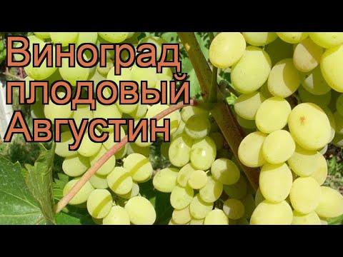 Виноград плодовый Августин (vitis augustin) 🌿 Августин обзор: как сажать, саженцы винограда Августин