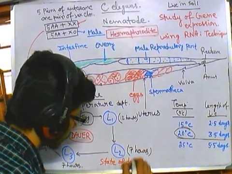 C elegans life cycle