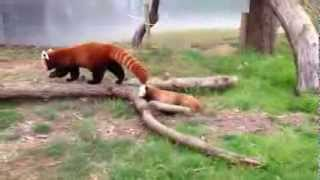 Baby red panda Mohu exploring with mom Stella Luna