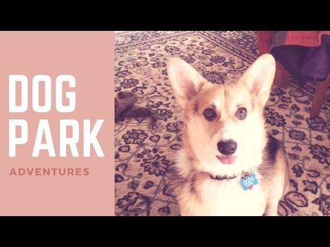Corgi puppy goes to the dog park
