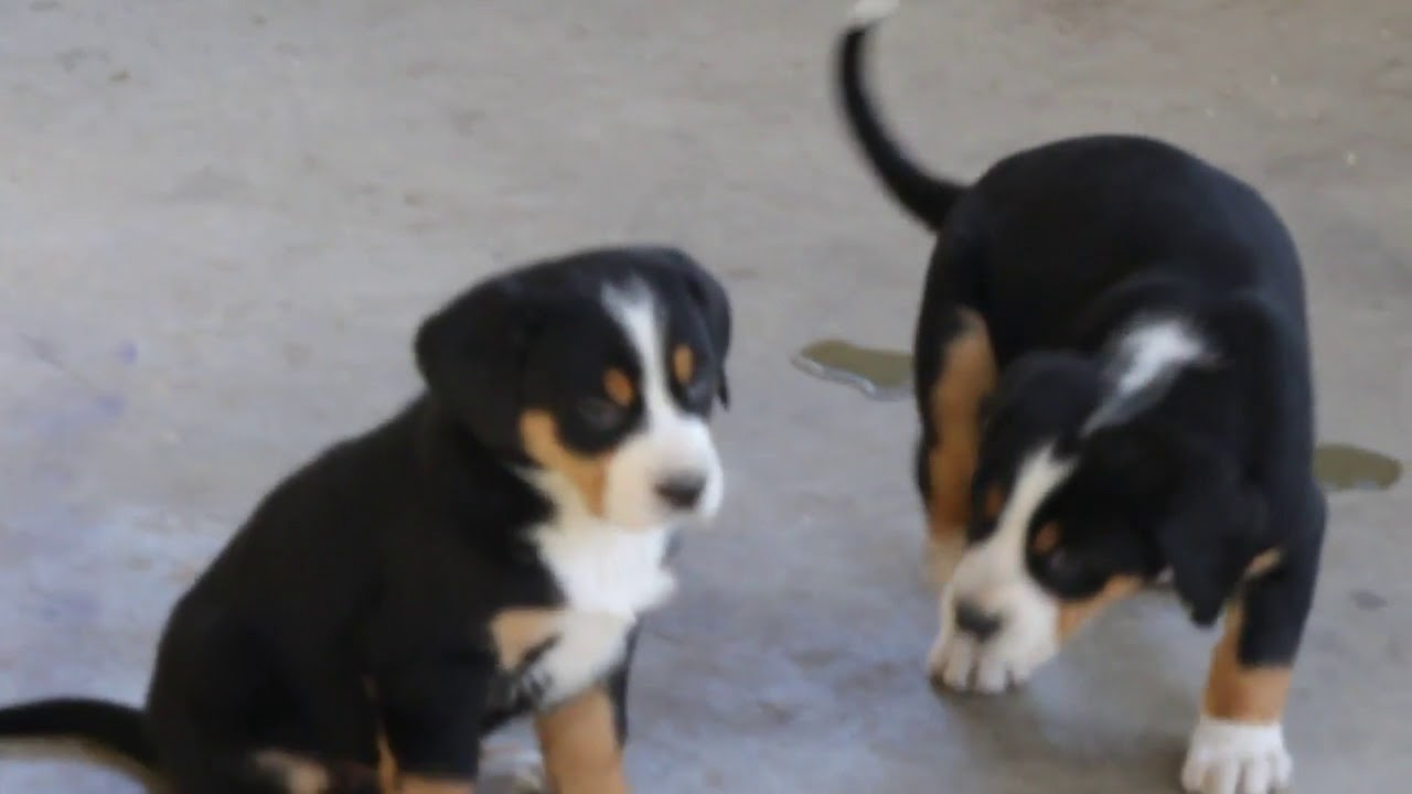 Greater Swiss Mountain Dog Puppies For Sale Youtube