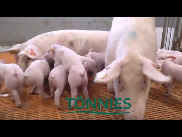 Tönnies Agrarblog: Sauen in Gruppenhaltung