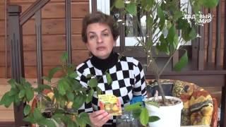 Чем подкормить комнатный лимон и мандарин. Сайт