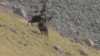 독수리와 염소 ㅡ 처절한 벼랑 사투