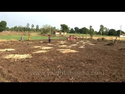 Preparing the field for paddy plantation