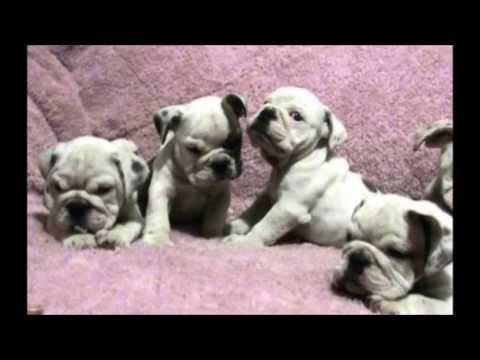 bulldogs cachorros en venta mercadolibre SPAINZER MEXICO  6096440e1c0