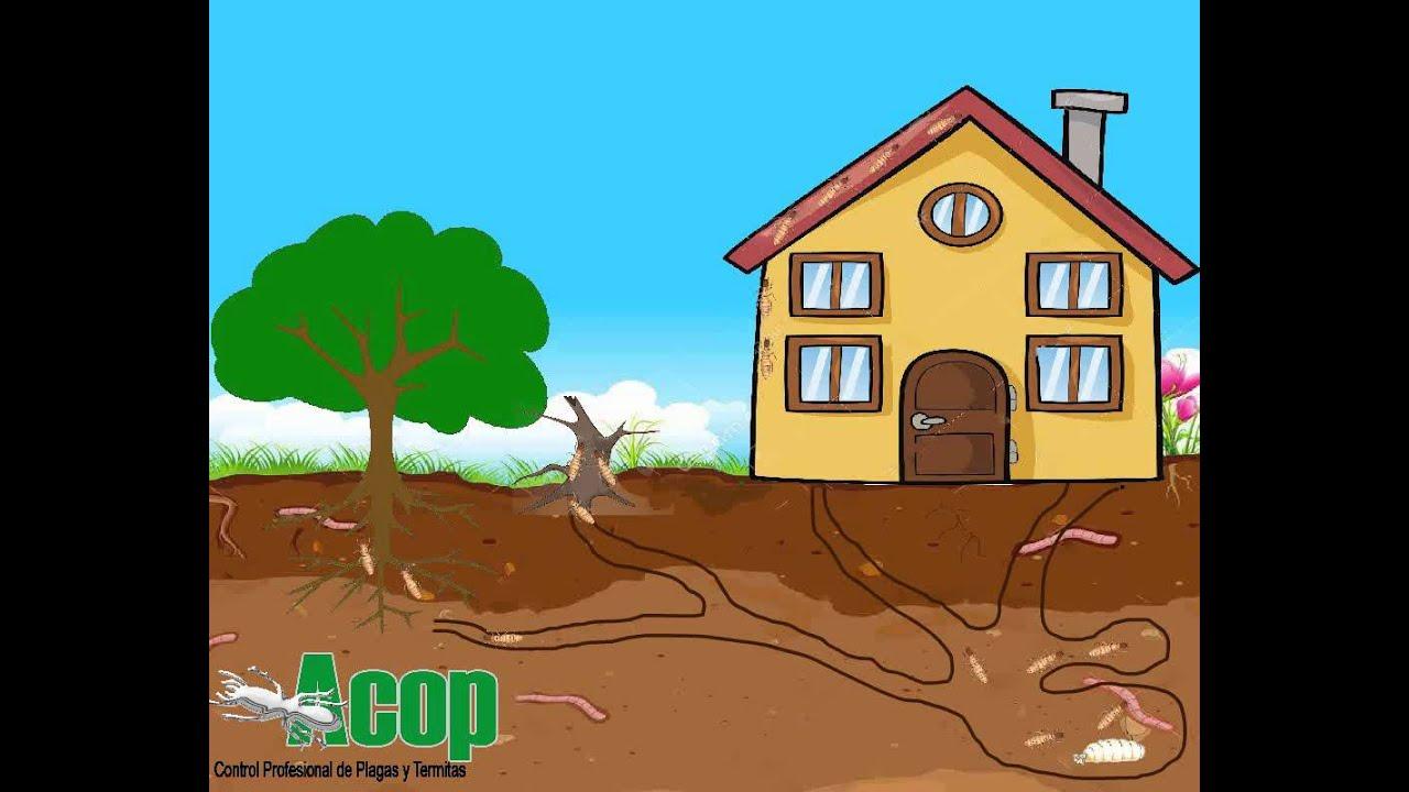Termitas subterraneas youtube - Termitas en casa como matarlas ...
