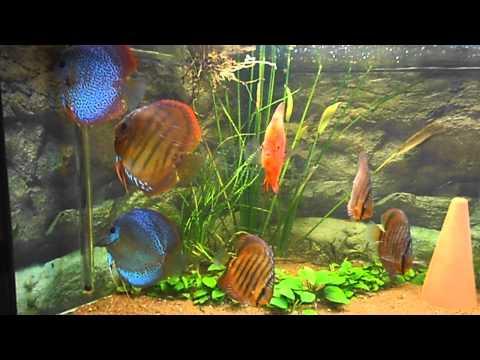 Aquarium 350 litres 7 discus youtube for Aquarium 350 litres