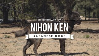 JAPAN'S RARE DOG BREEDS - NIHON KEN