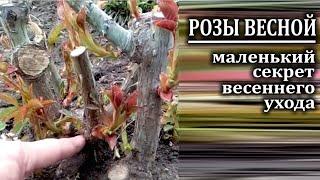 видео Роза кустовая садовая — правильный уход и выращивание на даче.