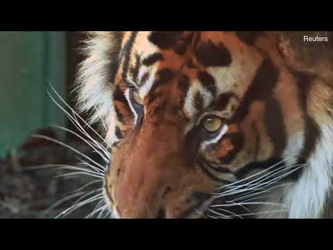 Sumatran tiger Asim arrives at London Zoo Mp3