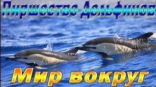 Дельфины. Совместная охота дельфинов и акул. Как пиршество превращается в безумие.