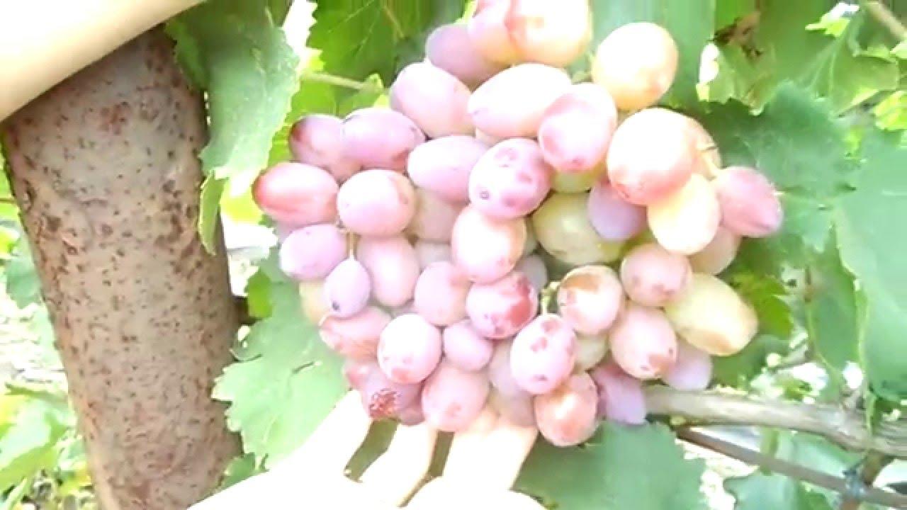 Видео сорта винограда подарок ирине