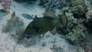TRIGGER FISH PROTECTING EGGS