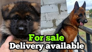 Standard Coat German shepherd puppies for sale| Delivery available all over India German shepherd|