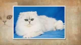 Персидские кошки. Уход - расчесывание.