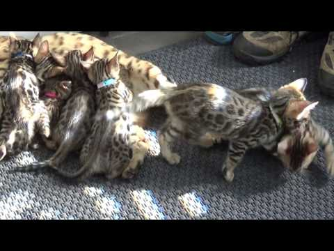 Bengal Kittens playing and nursing