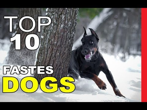 Top 10 Fastest Dog Breeds On Earth