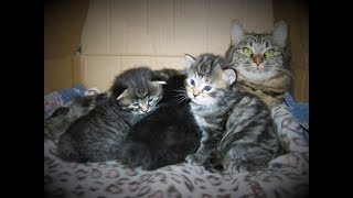 American Bobtail Kittens for sale