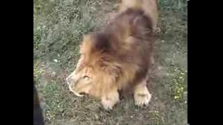 Бой львов (720х576)