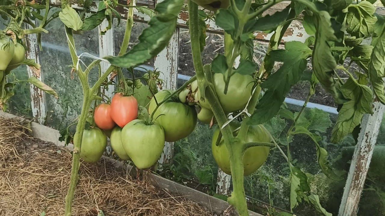 Сколько килограмм помидоров можно собрать с одного куста в теплице.