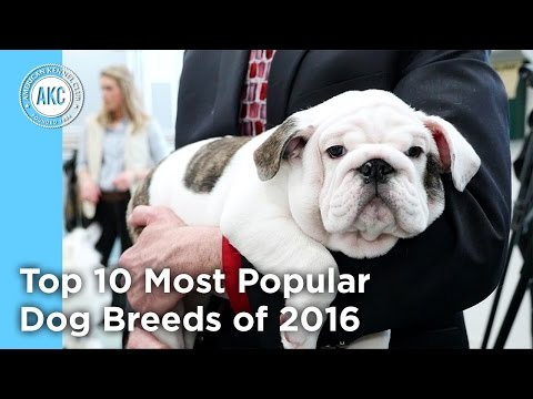 AKC's Top 10 Most Popular Dog Breeds of 2016