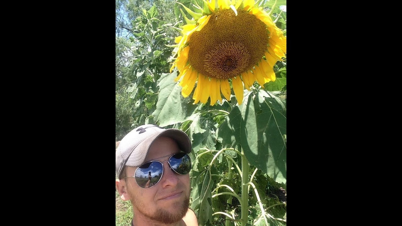 Growing Huge Texas Mammoth Sunflowers Prepper Crop Youtube