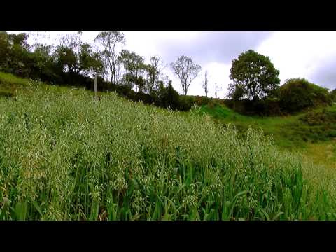 Oats forage for Cattle - Fodder - English Subtitles- Avena f