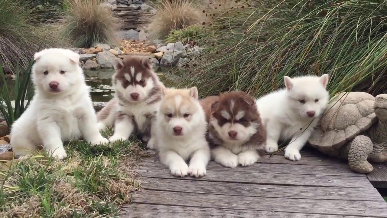 4 Weeks Old Siberian Husky Puppies