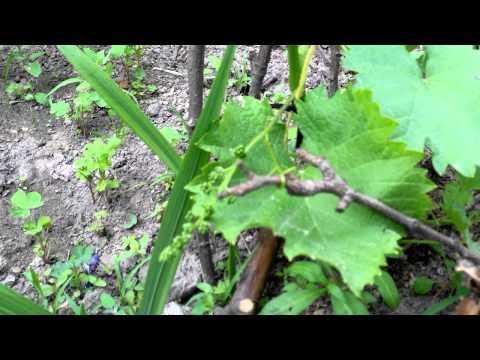 Виноград соцветие