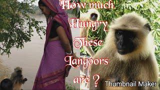 How much hungry these Langoors are?कितने भूखे हैं यहाँ के लंगूर ?