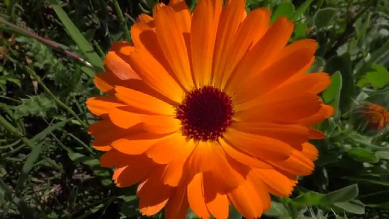 pot marigold calendula officinalis orange 2014 04 22 youtube. Black Bedroom Furniture Sets. Home Design Ideas